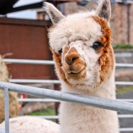 alpaca dappled